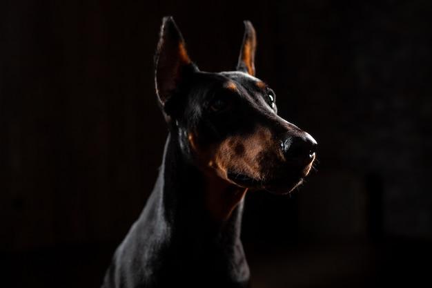 Close-up, engraçado, retrato, de, doberman, cão