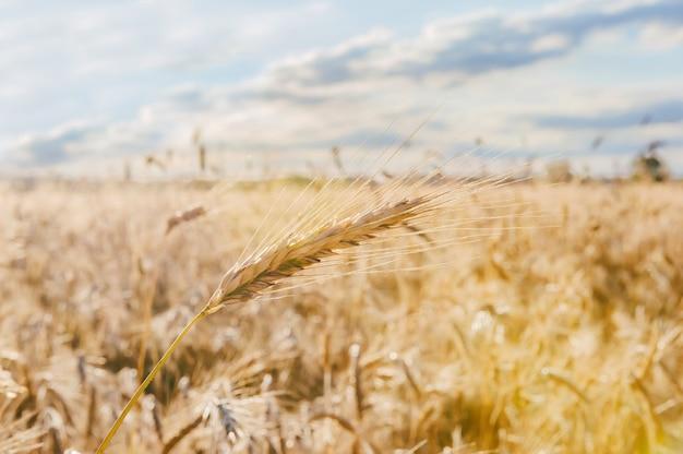 Close-up, espigas de trigo em tempo ensolarado no fundo do campo.