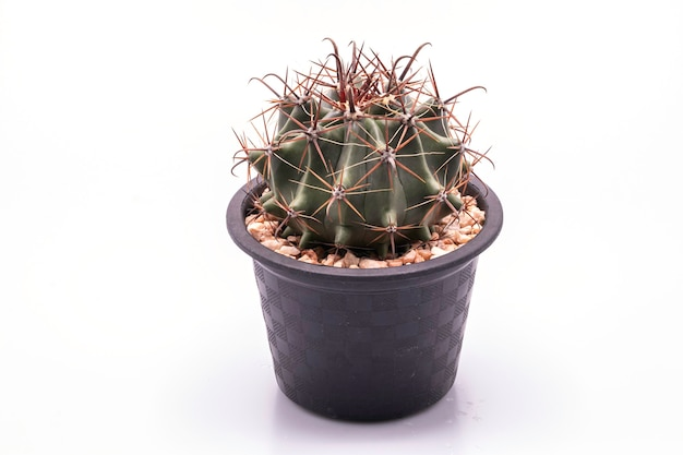 Close-up ferocactus em vaso preto isolado
