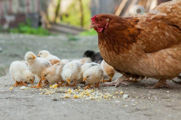 Close-up filhotes amarelos no chão, lindas galinhas amarelas, grupo de filhotes amarelos