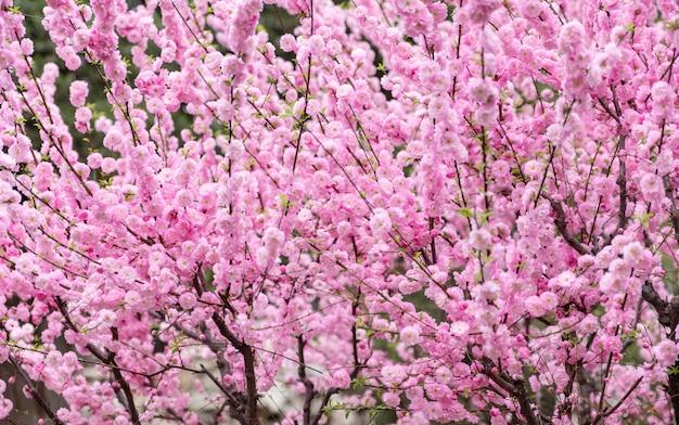 Close-up flor de flor de ameixa-de-rosa na árvore na primavera sazonal, fundo natural