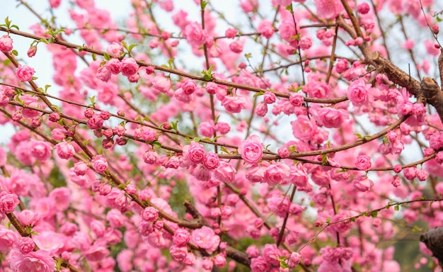 Close-up flor de flor de ameixa-de-rosa na árvore no jardim na primavera sazonal