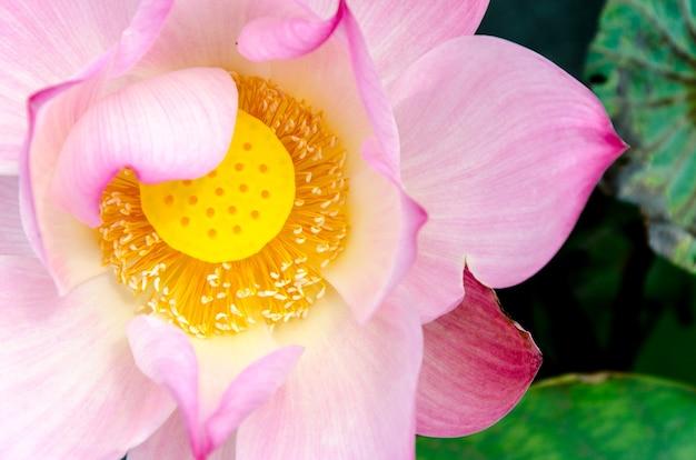 Close-up flor de lótus rosa no conner de imagem: fundo de lótus e pântano