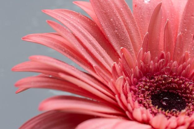 Close-up flor fofa de gerbera