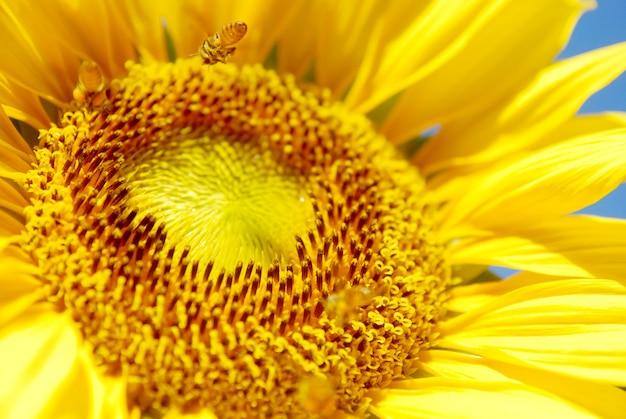 Close-up florescendo girassol no fundo do céu azul