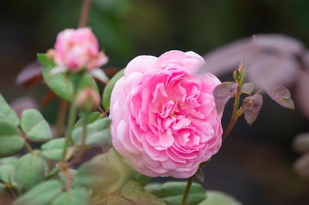 Close-up foco seletivo linda flor rosa flores no jardim ou campos, plantio comercial jardim de flores rosa na tailândia com muitas cores