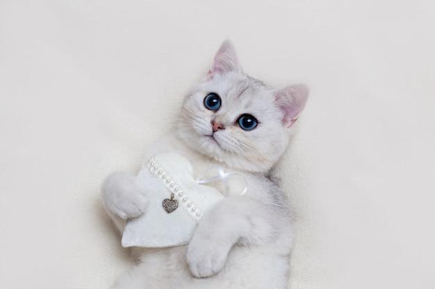 Close-up fofo gatinho britânico branco em um cobertor de malha branca, com um coração de tecido branco, segura