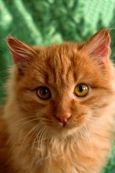Close-up fofo gato vermelho fofo em um verde