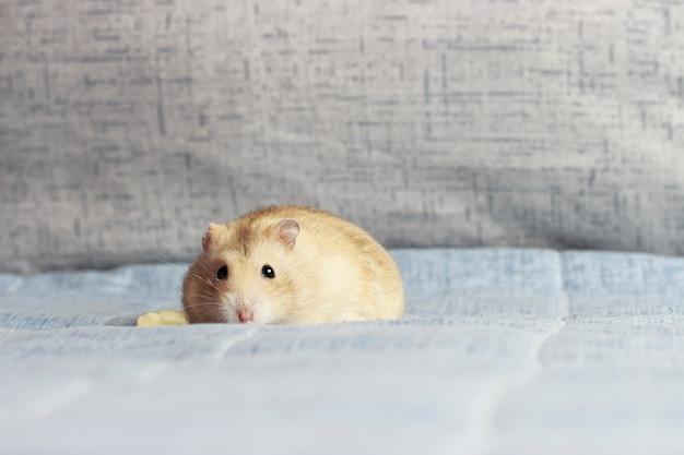 Close-up fofo hamster anão em azul