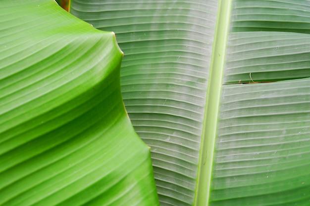 Close up folha de bananeira textura