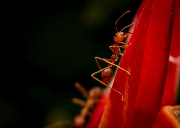 Close-up formiga vermelha na flor de speciosus cheilocostus