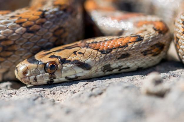 Close-up foto da cabeça de uma cobra leopardo adulta ou ratsnake europeu, zamenis situla, em malta