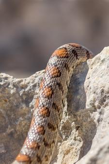 Close-up foto das escamas de uma cobra leopardo adulta ou ratsnake europeu, zamenis situla, em malta