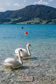 Close-up foto de lindos cisnes brancos em um lago em um dia ensolarado