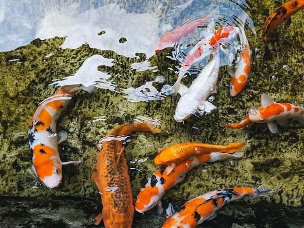 Close-up foto de lindos peixes cobertos por marcas pretas, laranja e brancas