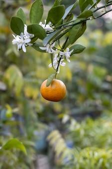 Close-up foto de pendurar tangerina ou mandarim madura com flores desabrochadas e folhas no jardim