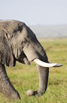 Close-up foto de um elefante tirada no parque nacional, quênia, áfrica
