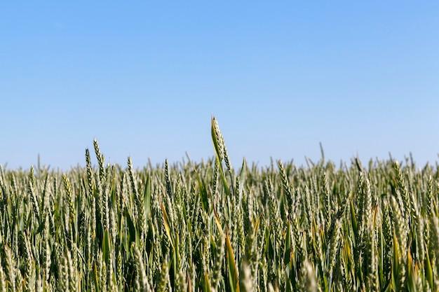 Close-up fotografado de espigas de trigo verdes fotografadas de cima. no fundo um céu azul