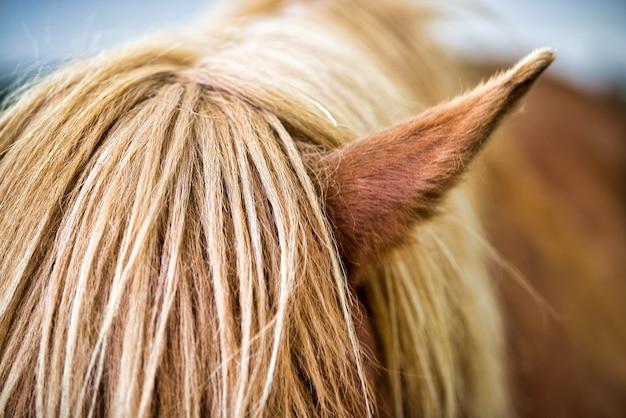 Close-up frontal do lado direito de um lindo cavalo islandês loiro. olhos cobertos por cabelos. apenas uma orelha e pescoço visíveis.