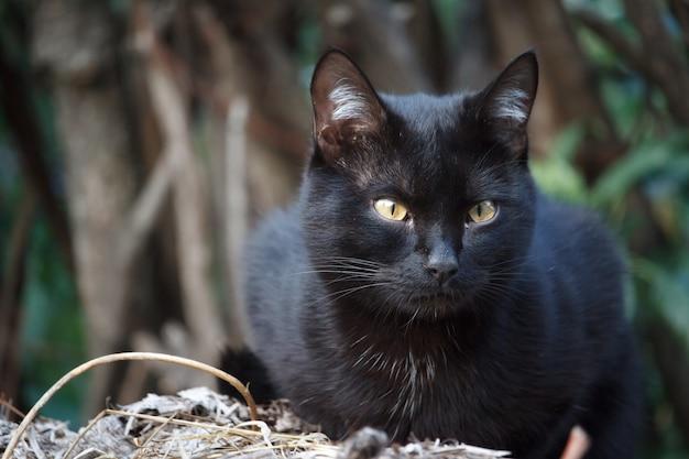 Close-up gato shorthair preto com olhos amarelos senta-se no telhado do galpão