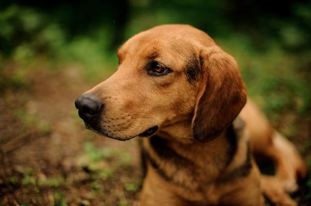 Close-up gengibre marrom e cachorro preto, olhando para o lado