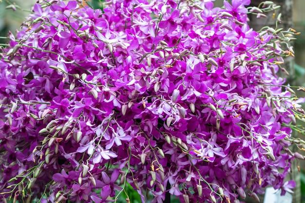 Close-up híbridos de orquídea dendrobium no jardim