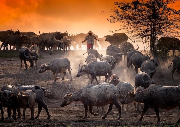 Close-up imagens de búfalos e agricultor no campo com céu dourado
