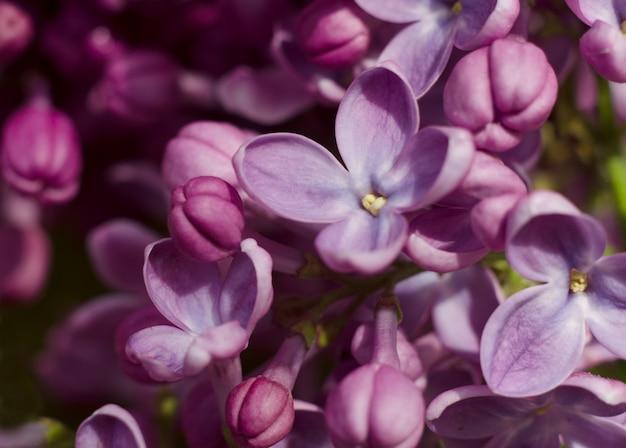Close-up imagens de flores lilás violetas brilhantes