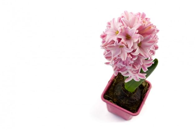 Close-up jacinto rosa com pote isolado no branco