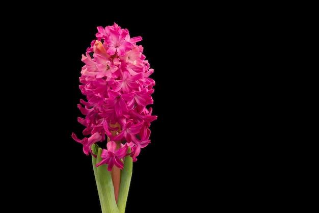 Close-up jacintos rosa flores isoladas em preto