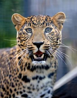 Close-up jovem leopardo na natureza Foto Premium