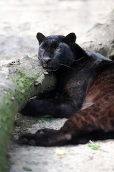 Close-up jovem leopardo negro na natureza