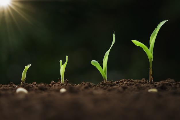 Close-up jovem milho crescendo passo na fazenda