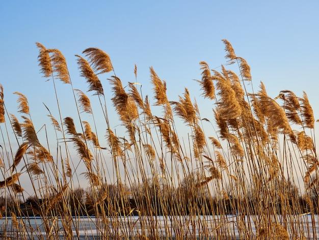 Close-up juncos de inverno na margem de um rio congelado contra o céu