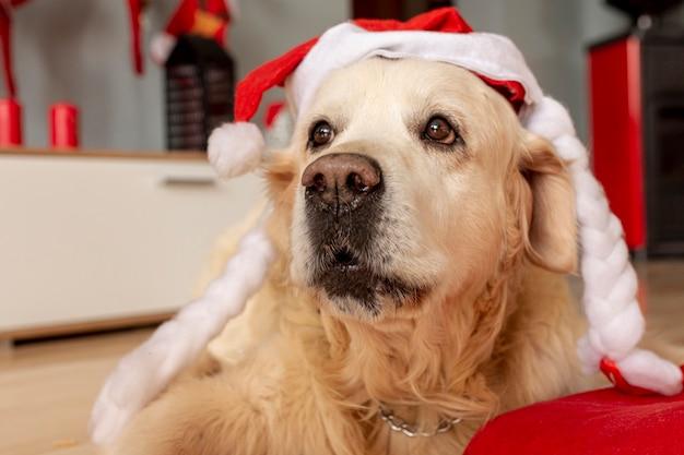 Close-up labrador em casa usando chapéu de papai noel