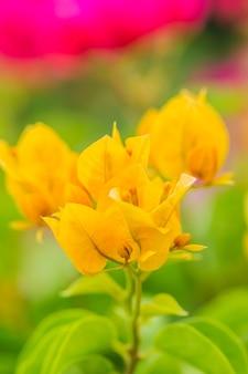 Close-up, laranja, buganvílias, flor, fundo