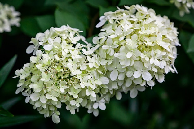 Close-up linda flor de hortênsia branca fresca