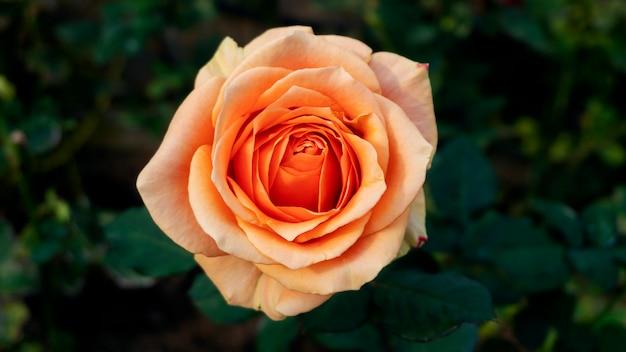 Close-up linda flor rosa no jardim