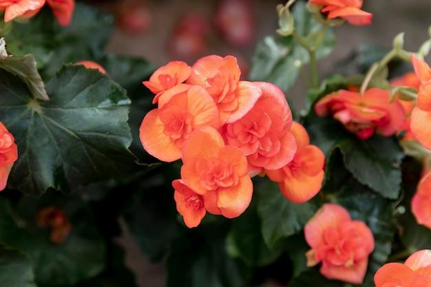 Close-up lindas flores de laranja