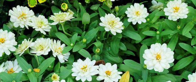 Close up lindas flores frescas de crisântemo branco