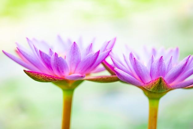 Close-up lindo lótus roxo, uma flor de lírio de água na lagoa