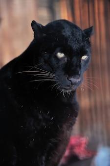 Close-up lindo retrato leopardo preto Foto Premium