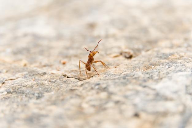 Close up macro de formiga vermelha no chão de cimento branco.