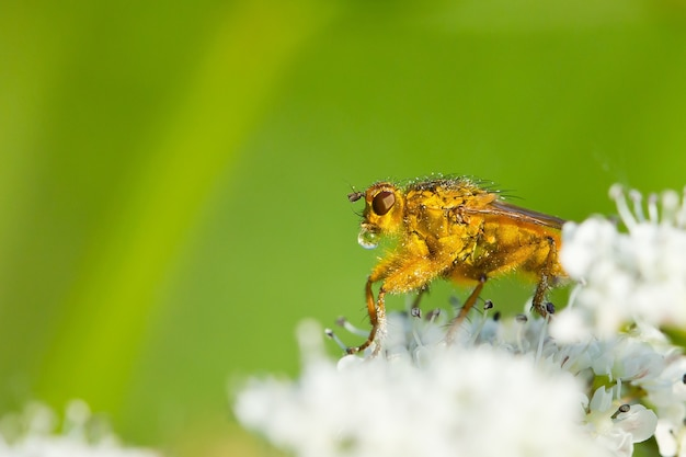 Close up macro de mosca de estrume dourado com orvalho de água na boca empoleirada em flores brancas