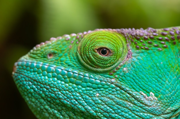 Close-up, macro de um camaleão verde