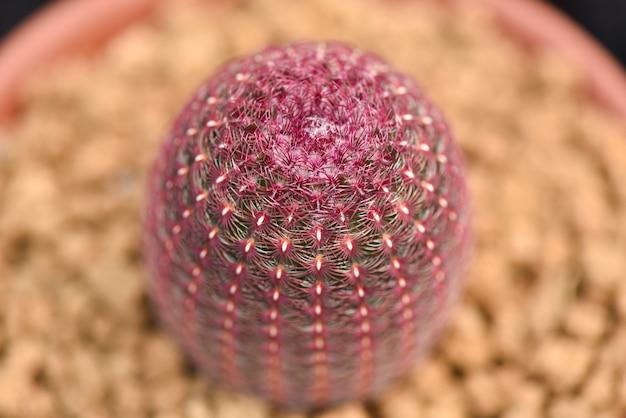 Close up macro do cacto em um potenciômetro. foco seletivo.