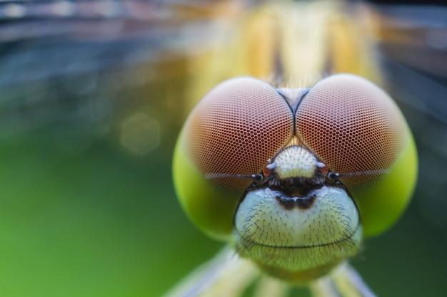 Close-up macro libélula