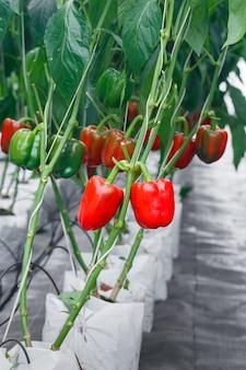 Close-up maduro pimentão vermelho em estufas de agricultura