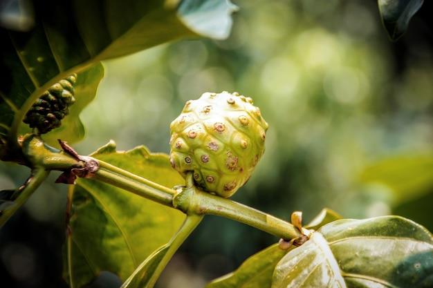 Close-up medicina noni na árvore superior