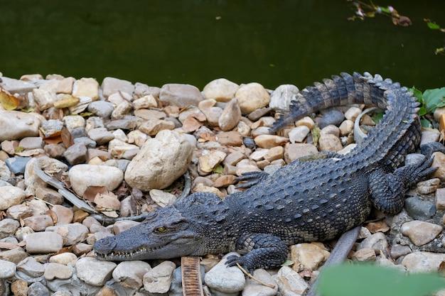 Close up muito grande crocodilo mugger